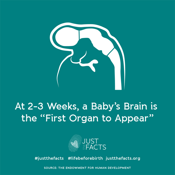 At 2-3 weeks, a baby's brain is the 'first organ to appear'