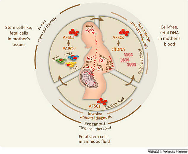 An illustration of the suggested relationship between amniotic fluid stem cells and fetal microchimeric cells and DNA in the mother's tissue and blood